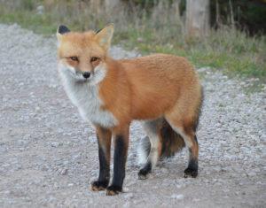 Boodeful portfolio fox